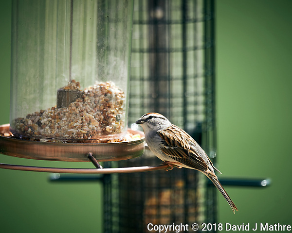 Chipping Sparrow at a bird feeder. Image taken with a Nikon D4 camera and 600 mm f/4 VR lens (ISO 125, 600 mm, f/4, 1/400 sec). (David J Mathre)