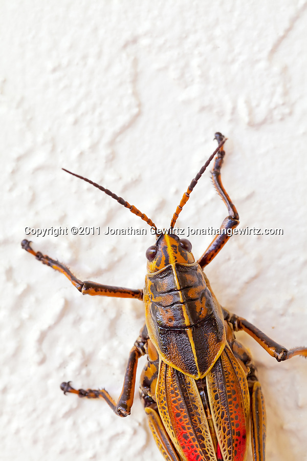 A bright orange/yellow lubber grasshopper (Romalea guttata) on a wall in the Florida Everglades. (Copyright 2011 Jonathan Gewirtz jonathan@gewirtz.net)