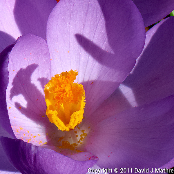 Purple Crocuses Bloom  -- Spring is Coming. Image taken with a Leica D-Lux 5 (ISO 100, 19.2 mm, f/8, 1/320 sec). (David J Mathre)