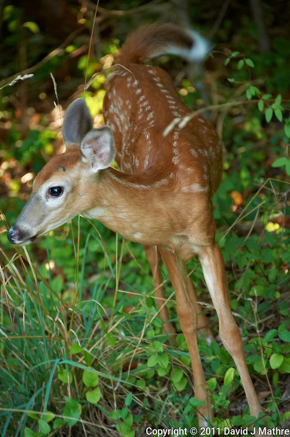 Inquisitive Fawn. Backyard Nature in my Backyard -- Summer in New Jersey. Image taken with a Nikon D700 and 28-300 mm lens (ISO 560, 300 mm, f/5.6, 1/60 sec). Raw image processed with Capture One Pro 6, Nik Define 2, and Photoshop CS5. (David J Mathre)