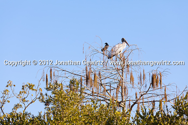 An American Crow (Corvus brachyrhynchos) and a Wood Stork (Mycteria americana) perch next to each other in a tree in the Shark Valley section of Everglades National Park, Florida. (© 2012 Jonathan Gewirtz / jonathan@gewirtz.net)