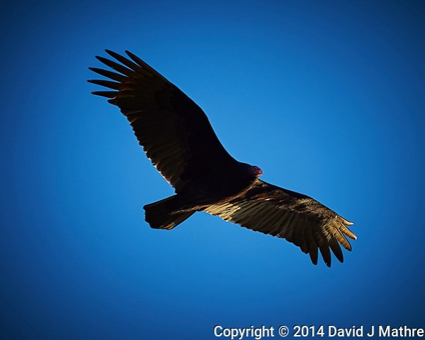 Turkey vulture soaring in the afternoon sun. Outdoor Autumn Nature in New Jersey. Image taken with a Nikon D4 camera and 500 mm f/4 VR lens (ISO 200, 500 mm, f/4, 1/3200 sec). (David J Mathre)