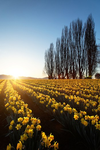 Poplar row and field of yellow daffodils at sunrise, Skagit Valley, Mount Vernon, Washington, USA