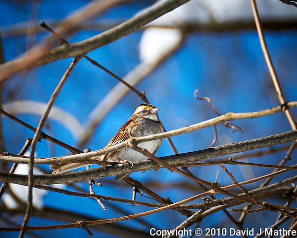 White-throated Sparrow wondering when the snow will go away, and it will be spring again. Image taken with a Nikon D300 camera and 18-200 mm VR lens (ISO 200, 200 mm, f/5.6, 1/800 sec). (David J Mathre)