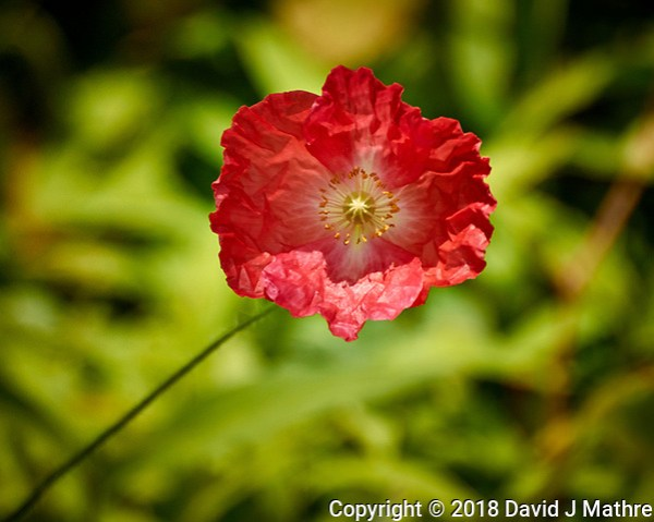 Red Icelandic Poppy Flower. Image taken with a Nikon 1 V3 camera and 70-300 mm VR lens (David J Mathre)