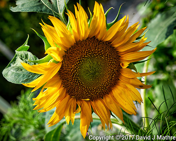 First Sunflower Bloom. Backyard summer nature in New Jersey. Image taken with a Nikon Df camera and 60 mm f/2.8 macro lens (ISO 100, 60 mm, f/6.3, 1/250 sec). (David J Mathre)