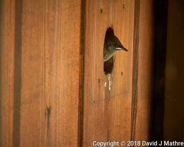 House Wren Nest at My Front Door. Image taken with a Fuji X-H1 camera and 80 mm f/2.8 macro lens (ISO 1600, 80 mm, f/11, 1/80 sec). (DAVID J MATHRE)