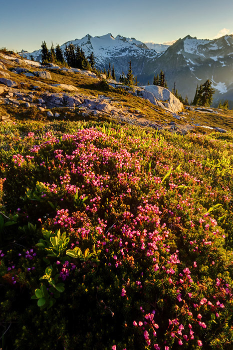 Pink mountain heather in subalpine meadow, Mount Daniel in background, Wenatchee Mountains, central Washington Cascade Mountains (Brad Mitchell)