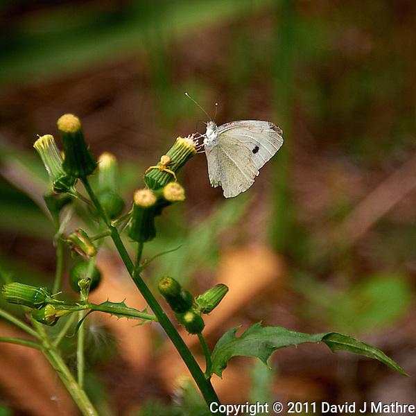 White Moth. Summer in New Jersey. Image taken with a Nikon D700 and 28-300 mm VR lens (ISO 200, 300 mm, f/5.6, 1/200 sec). (David J Mathre)