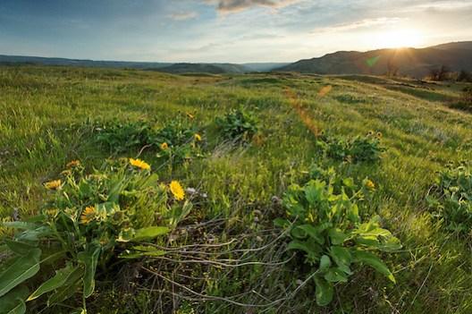 Sun rises over wildflowers on the Rowena Plateau, Tom McCall Preserve, Rowena, Oregon, USA (Brad Mitchell)
