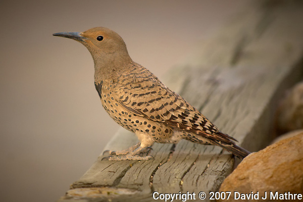 Northern Flicker (woodpecker). Residence Inn in Boulder, Colorado. Image taken with a Nikon D2xs camera and 70-200 mm f/2.8 VR lens (ISO 400, 180 mm, f/4, 1/50 sec). (David J Mathre)