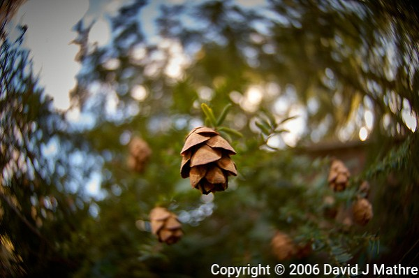 Small Pine Cones. Backyard Winter Nature in New Jersey. Image taken with a Nikon D2xs camera and 10.5 mm f/2.8 fisheye lens (ISO 100, 10.5 mm, f/2.8, 1/90 sec). (David J Mathre)