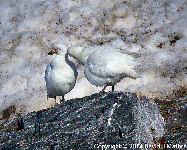 Pair of Snowy Sheathbill's on Elephant Island. Image taken with a Leica T camera and 18-56 mm lens (ISO 100, 56 mm, f/16, 1/500 sec). Raw image processed with Capture One Pro, Focus Magic, and Photoshop CC. (David J Mathre)