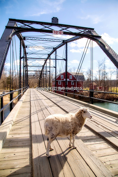 A sheep stands on the bridge at War Eagle in Northwest Arkansas. (Beth Hall)