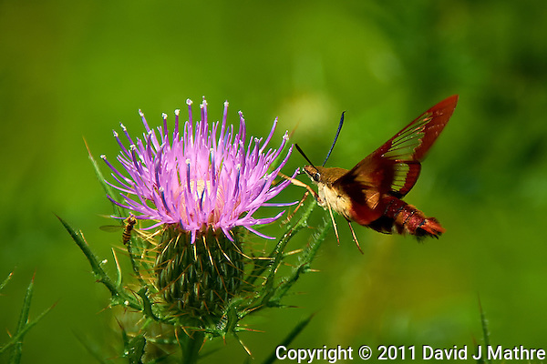 Hummingbird Clearwing Moth on Thistle Bloom. Sourland Mountain Preserve, Summer Nature in New Jersey. Image taken with a Nikon D700 and 28-300 mm VR lens (ISO 200, 300 mm, f/5.6, 1/1000 sec). Raw image processed with Capture One Pro 6, Nik Define, and Photoshop CS5. (David J Mathre)
