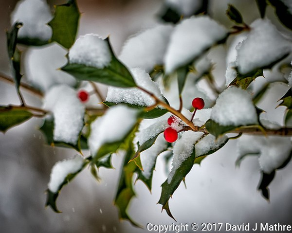 Holly berries in the snow. Our second snowstorm in two days. Winter has finally arrived. Fuji X-T1 camera and 90mm f/2 lens (ISO 200, 90 mm, f/2, 1/400 sec). (David J Mathre)