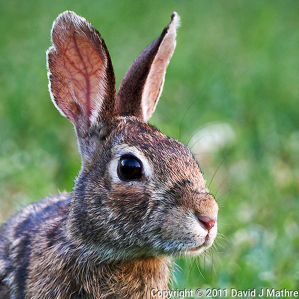 Rabbit Head with Big Ears. Late Spring Nature in New Jersey. Image taken with a Nikon D3x and 500 mm f/4 VR lens (ISO 400, 500 mm, f/4, 1/160 sec). Raw image processed with Capture One Pro, Focus Magic, and Photoshop CS5. (David J Mathre)