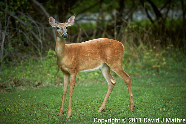 Doe. Backyard Nature -- Summer in New Jersey. Image taken with a Nikon D3s and 70-200 mm f/2.8 VR II lens (ISO 250, 200 mm, f/2.8, 1/200 sec). Raw image processed with Capture One Pro 6 and Photoshop CS5. (David J Mathre)