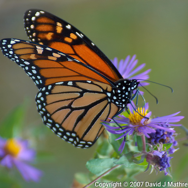 Monarch Butterfly. Late Fall Nature in Central New Jersey. Image taken with a Nikon D2xs and 80-400 mm VR lens (ISO 100, 400 mm, f/5.6, 1/250 sec). (David J Mathre)