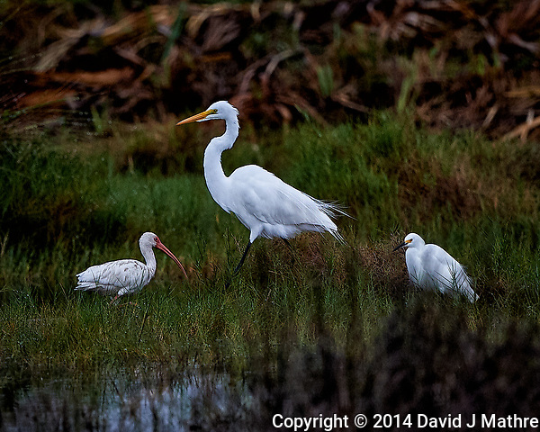 White Ibis, Great Egret, and Snowy Egret. Merritt Island National Wildlife Refuge. Image taken with a Nikon D4 camera and 500 mm f/4 VR telephoto lens (ISO 500, 500 mm, f/4, 1/500 sec) (David J Mathre)