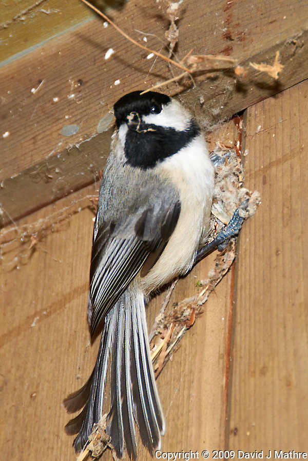 Black-capped Chickadee trying to keep warm. Image taken with a Nikon D300 and 18-200  mm VR lens (ISO 200, 200 mm, f/5.6, 1/60 sec, flash). (David J. Mathre)