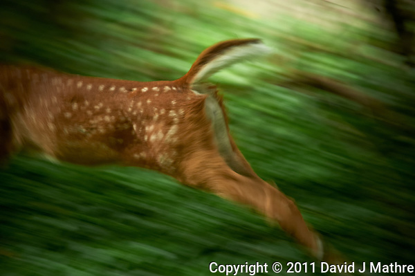 Running Fawn Moving and Out of Focus. Backyard Nature in my Backyard -- Summer in New Jersey. Image taken with a Nikon D700 and 28-300 mm lens (ISO 900, 300 mm, f/5.6, 1/60 sec). Raw image processed with Capture One Pro 6, Nik Define 2, and Photoshop CS5. (David J Mathre)