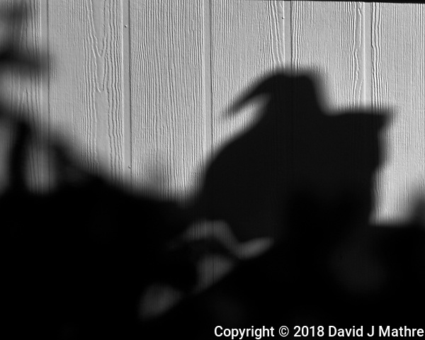 Turkey Vulture Shadow. Winter Backyard Nature in New Jersey. Image taken with a Fuji X-T2 camera and 100-400 mm OIS lens (ISO 200, 400 mm, f/5.6, 1/850 sec). (David J Mathre)