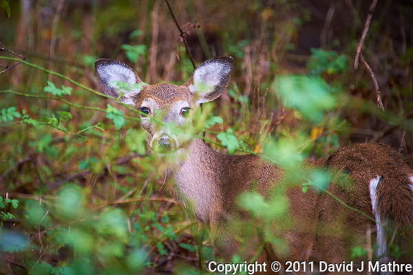 Young Doe Hiding in the Brush Image Taken with a Nikon D700 and 28-300 mm VR lens (ISO 1250, 300 mm, f/5.6, 1/125 sec). (David J Mathre)