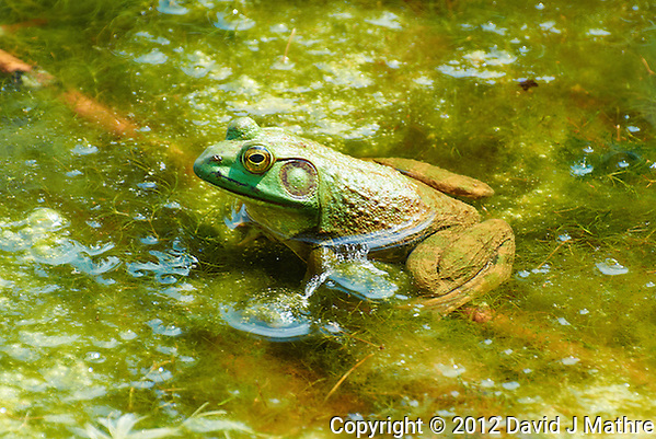 Bullfrog in a Pond at the Sourland Mountain Preserve. Summer Nature in New Jersey. Image taken with a Nikon 1 V1 + FT1 + 70-300 mm VR lens (ISO 200, 200 mm, f/5.6, 1/320 sec) and monopod. FOV Equivalent to ~ 540 mm on a 35 mm image sensor. (David J Mathre)
