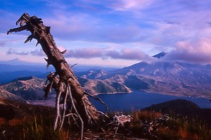 Standing Dead Tree on Mt. Margaret With Spirit Lake and Mt. St. Helens, Mt. St. Helens National Volcanic Monument, Washington, US (Roddy Scheer)