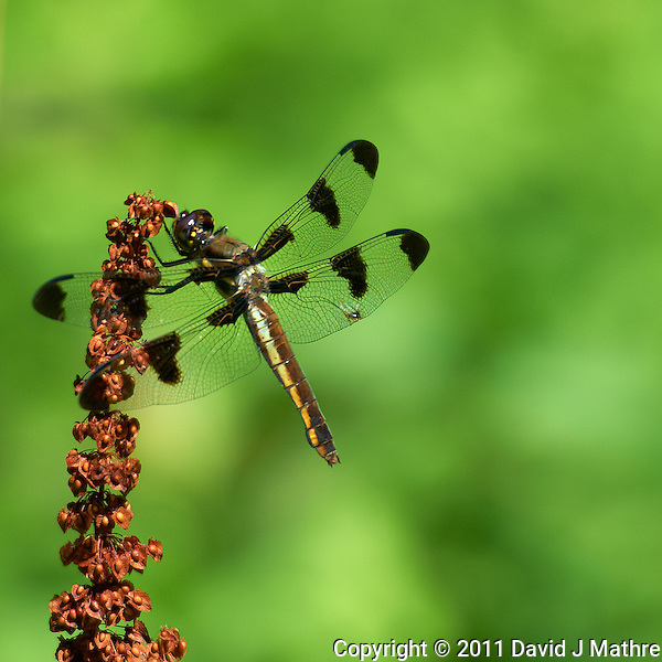 Dragonfly in Sourland Mountain Reserve. Summer in New Jersey. Image taken with a Nikon D3s and 70-200 mm f/2.8 lens + TC-E III 20 teleconverter (ISO 200, 400 mm, f/5.6, 1/640 sec). Raw image processed with Capture One Pro, Focus Magic, and Photoshop CS5. (David J Mathre)