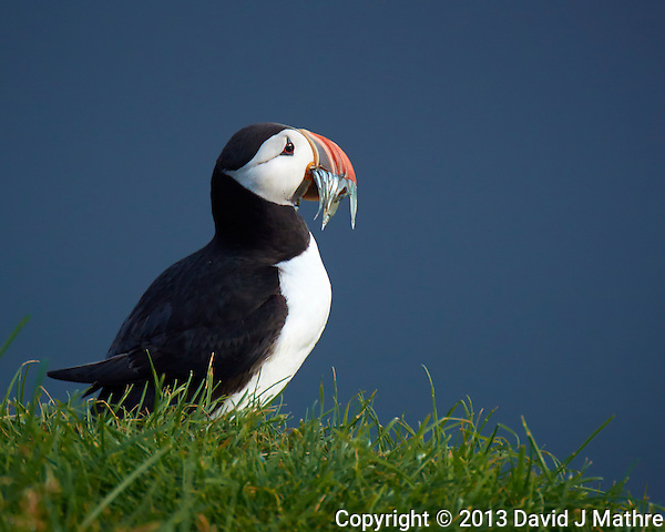 Puffin Sunning Itself After A Successful Fishing Trip Image taken with a Nikon 1 V2 camera FT-1 Adapter and 80-400 mm VR II lens (ISO 160, 400 mm, f/5.6, 1/250 sec). (David J Mathre)