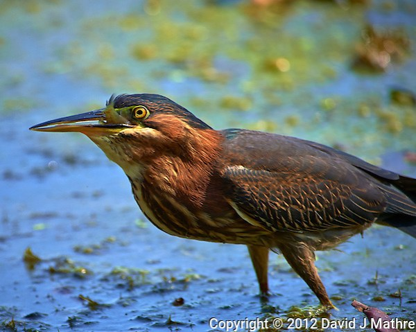 Green Heron Swallowing a Fish at a Pond in the Sourland Mountain Preserve. Image taken with a Nikon D4 and 300 mm f/2.8 VR len + TC-E III 20 teleconverter (ISO 220, 600 mm, f/5.6, 1/640 sec). (David J Mathre)