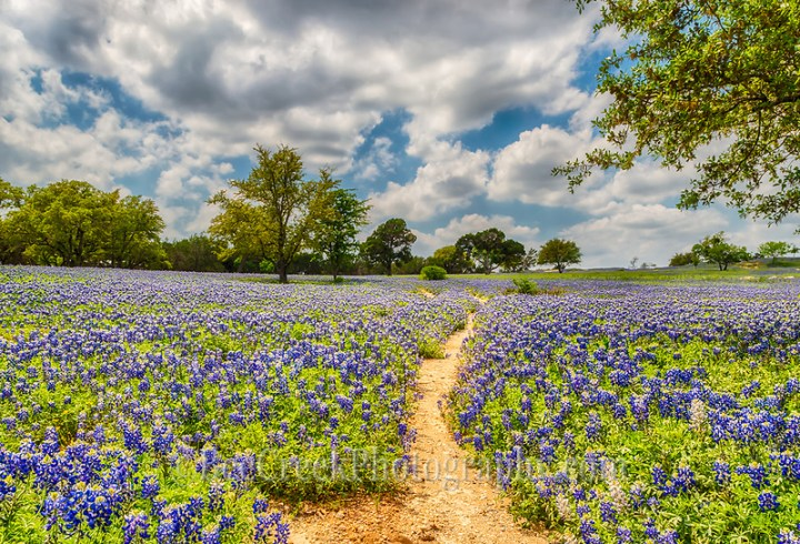 We loved this trail through the field of endless bluebonnets on this Texas Hill Country ranch the path seem to meander throughout this great field of flowers. (Tod Grubbs & Cynthia Hestand)