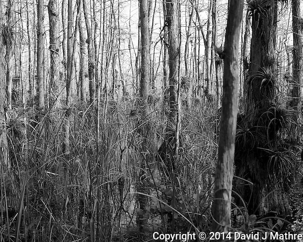 Swamp walk with Kristen and Angela in the Everglades behind Clyde Butcher's Big Cypress Gallery. Image taken with a Leica X2 camera (ISO 100, 24 mm, f/4.5, 1/160 sec). (David J Mathre)