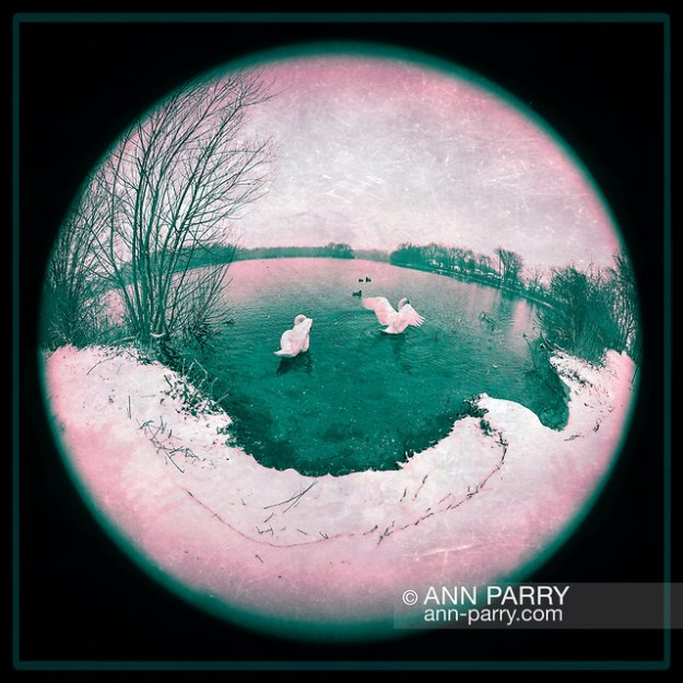 Wantagh, New York, USA. February 20, 2019. During snowfall, 2 swans and some mallards swim in Mill Pond Park on Long Island. 180 degree fisheye view of Nassau County public park. (© 2019 Ann Parry/Ann-Parry.com)