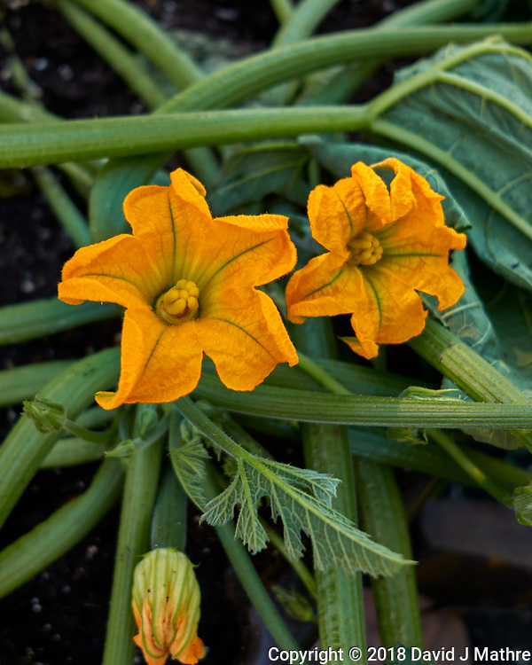 Zucchini and Zucchini Flowers. Image taken with a Fuji X-T2 camera and 100-400 mm OIS telephoto zoom lens (David J Mathre)