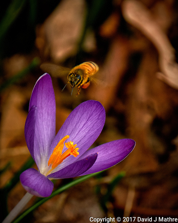 First Hint of Spring -- Early crocus flower with a honey bee across the street. Winter nature in New Jersey. Image taken with a Fuji X-T2 camera and 100-400 mm OIS lens (ISO 200, 400 mm, f/5.6, 1/500 sec) (David J Mathre)