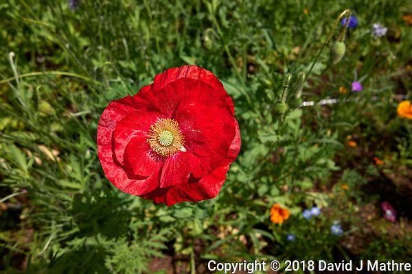 Red Poppy Flower at Shinjuku Chuo Park in Tokyo Image taken with a Leica CL camera and 18 mm f/2.8 lens (ISO 100, 18 mm, f/5, 1/1000 sec). (David J Mathre)