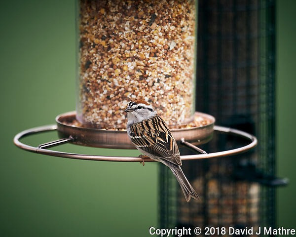 Chipping Sparrow at a bird feeder. Image taken with a Nikon D4 camera and 600 mm f/4 VR lens (ISO 360, 600 mm, f/4, 1/400 sec). (David J Mathre)