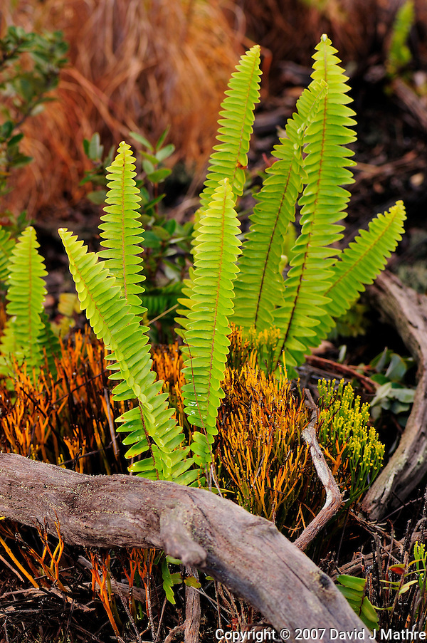 Fern Composition, Volcanoes National Park Hawaii. Image taken with a Nikon D2xs and 105 mm f/2.8 macro lens (ISO 100, 28 mm, f/6.3, 1/60 sec) with SB-800 fill flash (David J. Mathre)