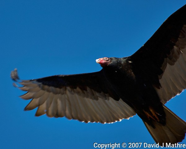 Turkey Vulture soaring in the afternoon sun. Backyard winter nature in New Jersey. Image taken with a Nikon D2xs camera and 80-400 mm VR lens (ISO 100, 400 mm, f/5.6, 1/400 sec). (David J Mathre)