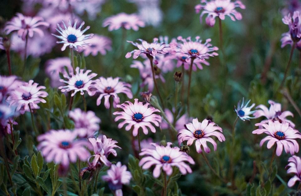 Flowers | Nikon F3 | Nikkor 85mm f/2 Ai-S | Kodak Portra 400