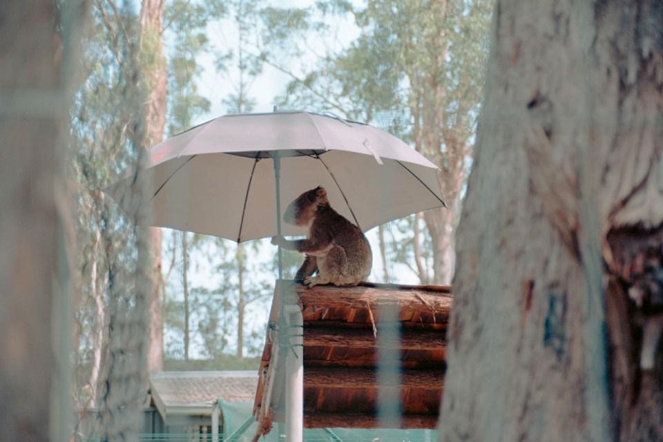 Koala under an umbrella | Nikon F100 | Nikkor 28-105 f/3.5-4.5 AF D | Kodak Ektar 100
