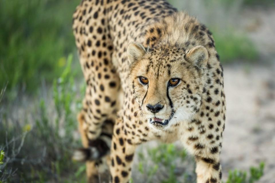 Gepard © Raik Krotofil