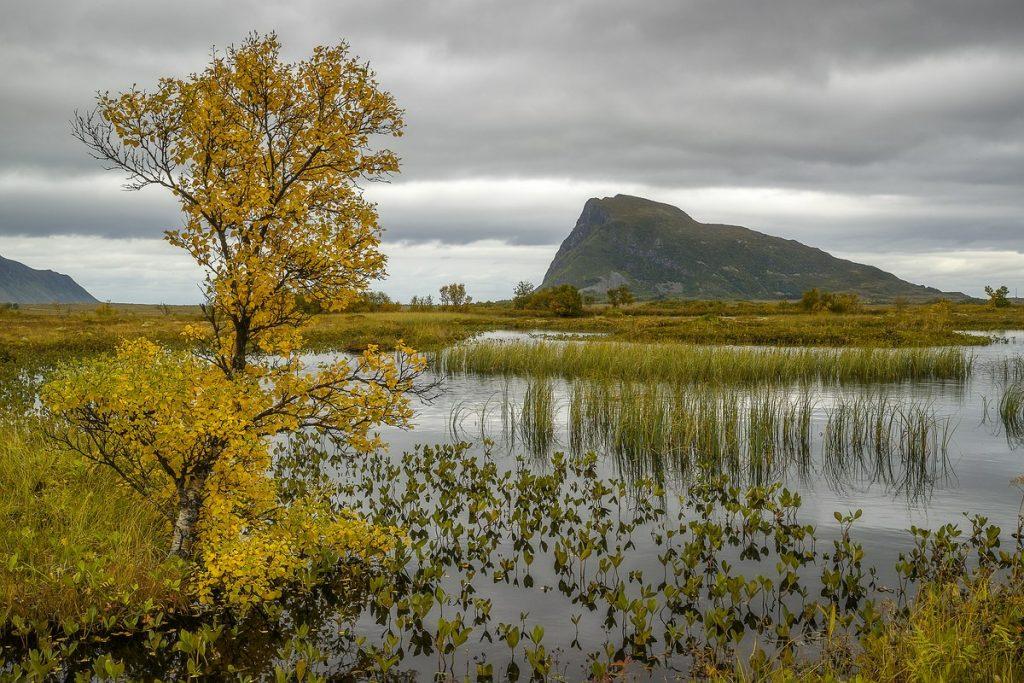 Gelbe Birke, Gimsoy Lofoten im Herbst