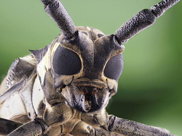 Focus Bracketing in Insect Photography: Photo: Copyright (C) Kazuo Unno