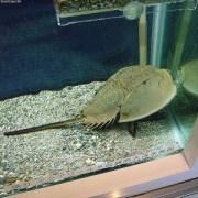 日本では天然記念物のカブトガニです/フリー百科事典『ウィキペディア(Wikipedia)』より