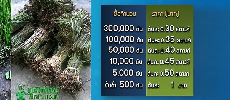 ราคาหญ้าแฝก