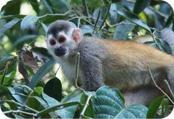 costa rican squirrel monkey